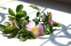 Pink flowers blooming dogrose on a windowsill with beautiful sha Royalty Free Stock Photo
