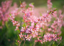 Pink flowers blooming Stock Images