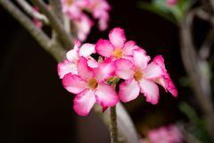 Pink flowers, blooming in the morning. Fragrant and beautiful, image use for nature background.  Royalty Free Stock Photo
