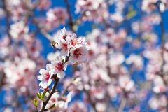 Pink Flowers Blooming Peach Tree at Spring Royalty Free Stock Images
