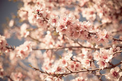 Pink Flowers Blooming Peach Tree at Spring Stock Photography