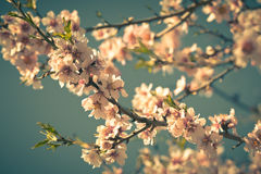 Pink Flowers Blooming Peach Tree at Spring Stock Images