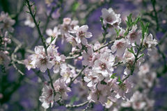Pink Flowers Blooming Peach Tree at Spring Royalty Free Stock Photo
