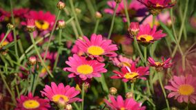 Pink cosmos flowers blooming royalty free stock images