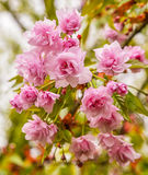 Pink flowers blooming royalty free stock photo
