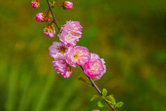 Pink flowers blooming Royalty Free Stock Photos