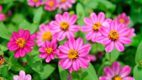 Pink flowers blooming in spring Royalty Free Stock Photography