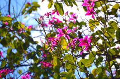 Pink flowers blooming tree Stock Photography
