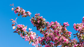 Pink flowers blooming on the tree Stock Image