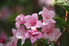 Pink flowers blooming weigel close up Royalty Free Stock Photos