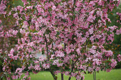 Pink flowers blossom  Decorative Apple Tree  on nature green background Royalty Free Stock Images