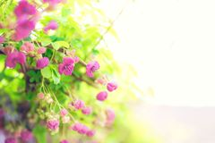 Pink flowers in blossom lighted and romantic stock photography