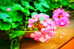 Pink flowers. stock photography