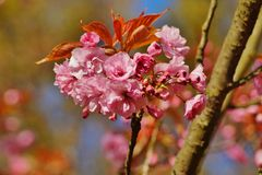Pink flowers blossomed Japanese cherry Royalty Free Stock Photos