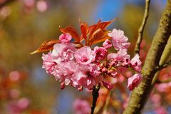 Pink flowers blossomed Japanese cherry Stock Photos