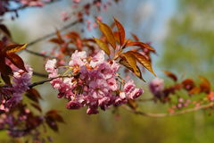 Pink flowers blossomed Japanese cherry Royalty Free Stock Images