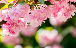 Pink flowers of blossoming cherry on the branch. Lovely nature scenery Stock Images