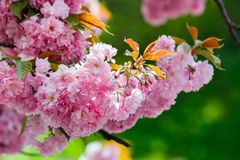 Pink flowers of blossoming cherry on the branch. Lovely nature scenery Royalty Free Stock Photos