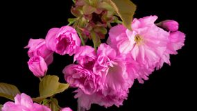 Pink sakura tree flowers. stock footage