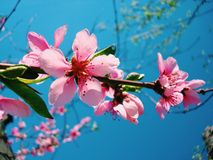 Pink flowers. At blue background Royalty Free Stock Photo