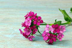 Pink flowers. On blue background with copy space, selective focus Royalty Free Stock Photos