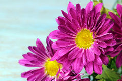 Pink flowers. On blue background with copy space, selective focus stock photography