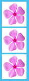Pink flowers in a blue frame Royalty Free Stock Image