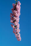 Pink flowers and blue sky Stock Photography