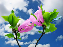 Pink flowers and blue sky. Branches with two pink flowers under sky with clouds Royalty Free Stock Photos