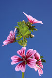 Pink flowers on blue sky. Colorful and detailed pink flowers (Zebra Mallow) isolated on a deep blue sky Royalty Free Stock Images