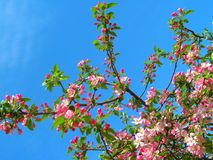 Pink flowers . Royalty Free Stock Photography