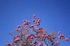 Pink flowers and blue sky royalty free stock photo