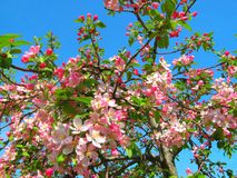 Pink flowers on blue sky background. Royalty Free Stock Image
