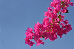 Pink flowers and blue sky Royalty Free Stock Images