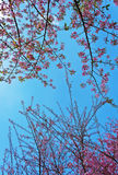 Pink flowers on blue sky Royalty Free Stock Photos