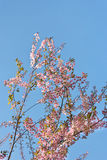 Pink flowers on blue sky Royalty Free Stock Photo
