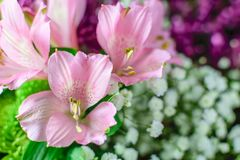 Pink flowers with blurred purple and white background. Closeup soft pink flowers with blurred green and purple mums and white baby breaths. Soft delicate stock photo