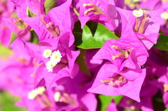 Pink flowers (bougainvillea) Stock Images