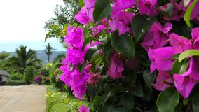 A pink flowers of bougainvillea tree in the park. A pink flowers of bougainvillea tree in the tropical park stock video