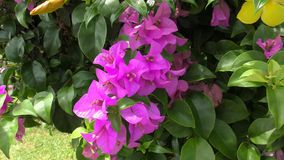 A Pink Flowers of Bougainvillea Tree in the Park. A Pink Flowers of Bougainvillea Tree in the Tropical Park stock footage