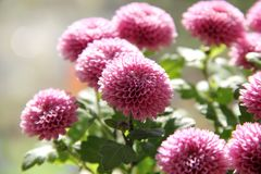 Pink flowers. Bouquet of pink flowers in the sun Royalty Free Stock Photo