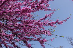 Pink flowers on braches of cercis against the sky Royalty Free Stock Image