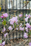 Pink flowers on brances in the urban park with fence on the background.  Stock Image