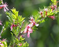 Pink flowers on the branch of a bush.  Stock Photo