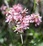 Pink flowers on the branch of a bush.  Royalty Free Stock Photo