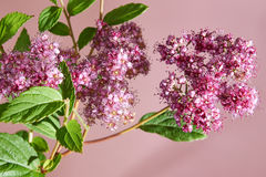 Pink flowers. Branch of pink flowers and green leaves on pink background Royalty Free Stock Photos