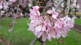 Pink flowers on a branch of plum. The branch of blossoming plum, pink flowers Stock Image