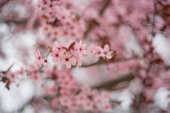 Pink flowers  on branch Royalty Free Stock Photography