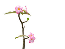 Pink flowers on the branches on isolated background. In the spring Royalty Free Stock Image