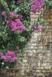 Pink flowers on brick wall as a border. With copy space Stock Photography